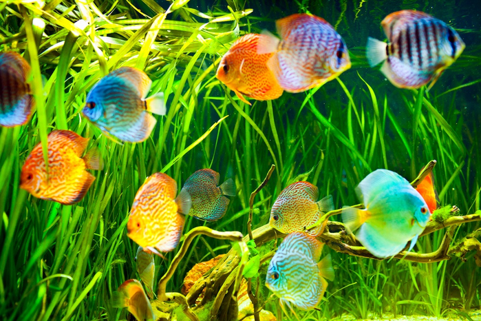 Young discus in an aquarium shutterstock_95132374 (700x466, 554Kb)