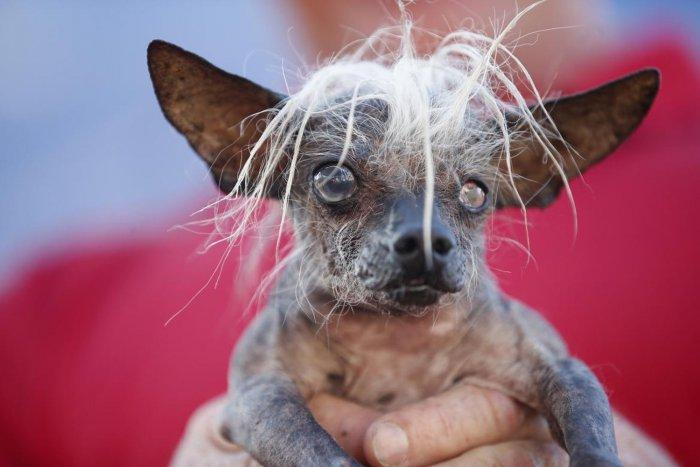 самая уродливая собака в мире 7 (700x467, 198Kb)