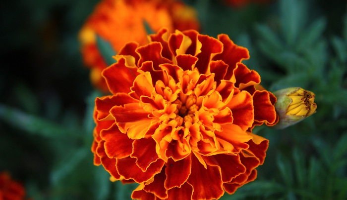 Оранжевый круглый цветок