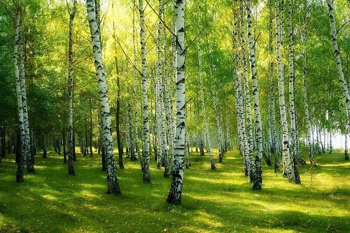 Берёзовый лес (699x466, 190Kb)