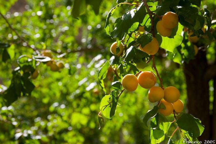 3303834_apricots_16 (700x466, 94Kb)