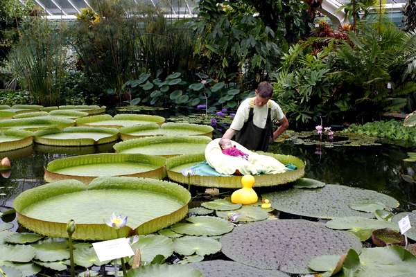1868538_belgium_giat_waterlily_leaf (600x400, 48Kb)