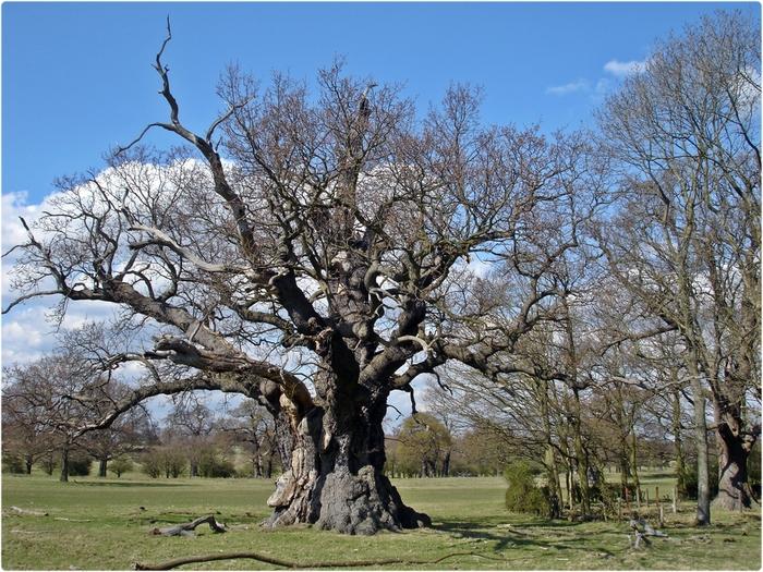 Древний дуб в Виндзорском парке (700x525, 380Kb)