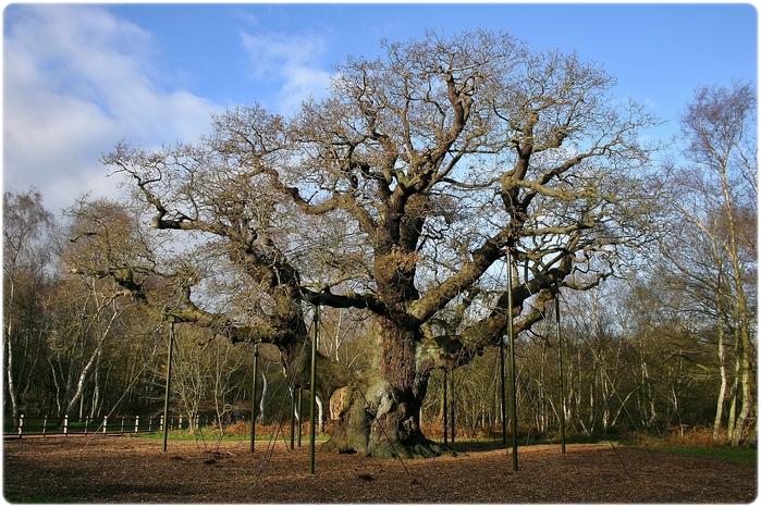 Древний дуб в Шервудском лесу 2006 г (700x466, 342Kb)