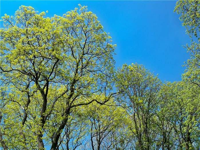 дуб ранняя весна (700x525, 104Kb)