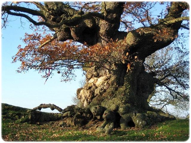 Древний дуб в Англии (2) (640x480, 366Kb)