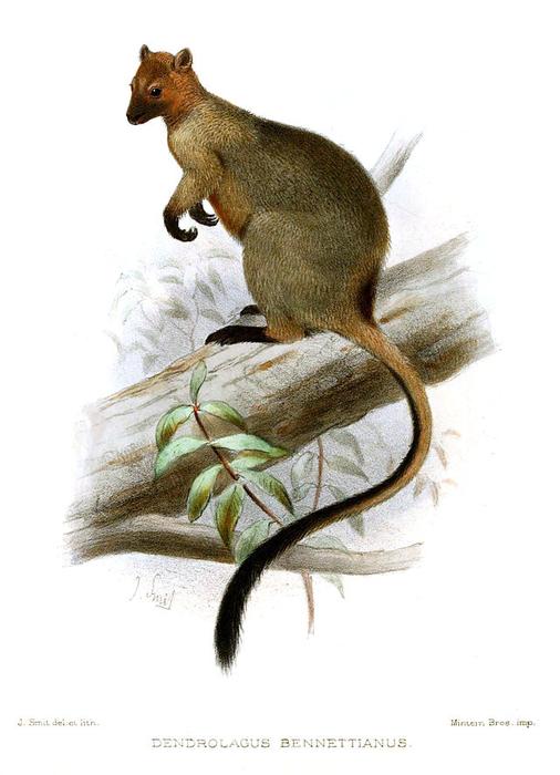 Bennett's_Tree-kangaroo (506x700, 232Kb)