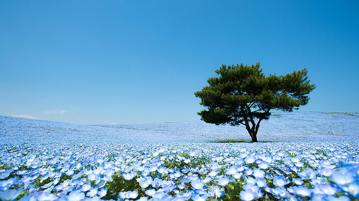 nemophilas-field-hitachi-seaside-park-1 (700x392, 108Kb)