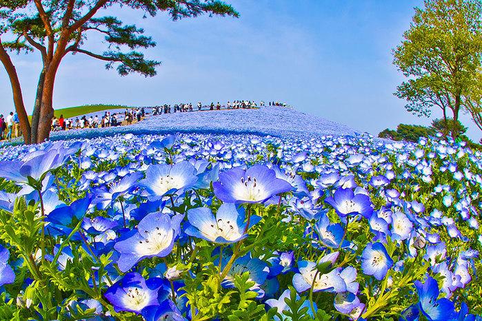 nemophilas-field-hitachi-seaside-park-6 (700x466, 235Kb)