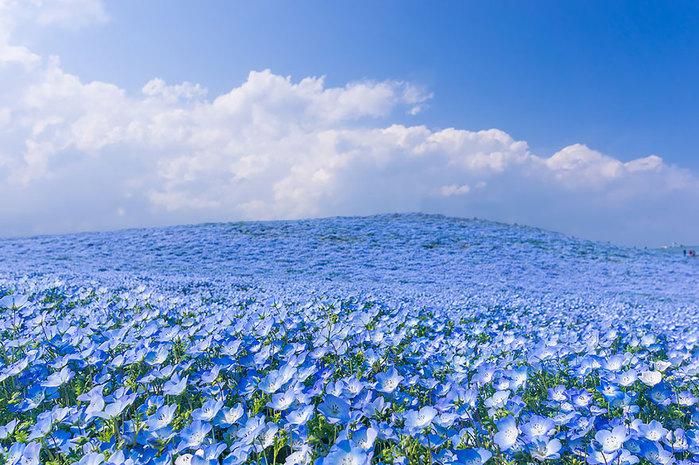 nemophilas-field-hitachi-seaside-park-9 (700x465, 147Kb)