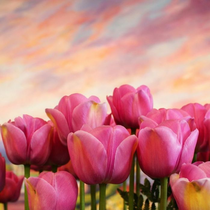 pink_tulips20 (698x700, 48Kb)