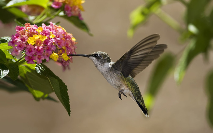 humming_bird_02 (700x437, 69Kb)