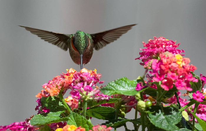 humming_bird_04 (700x447, 97Kb)