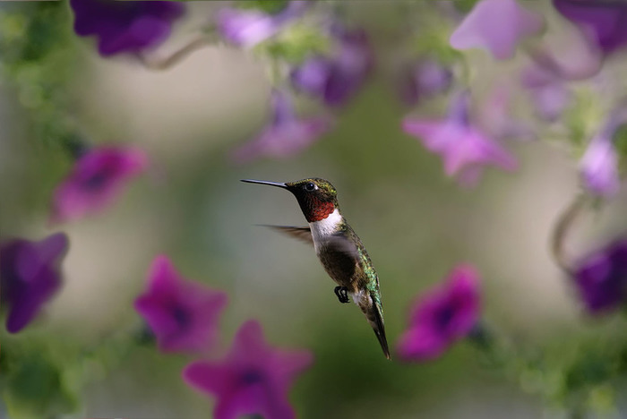 humming_bird_07 (700x468, 53Kb)
