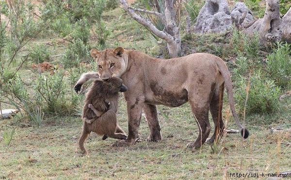 Львица и маленькая обезьянка, как львица заботилась об обезьянке,