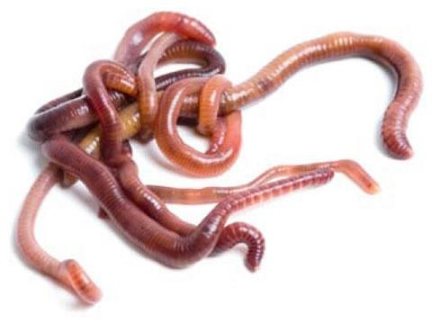 лисички на водке от паразитов