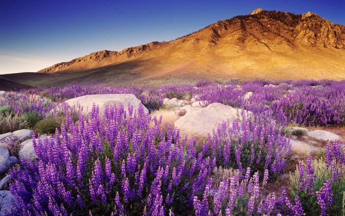 purple-mountain-flowers-wallpapers_38232_1280x800 (610x337, 505Kb)