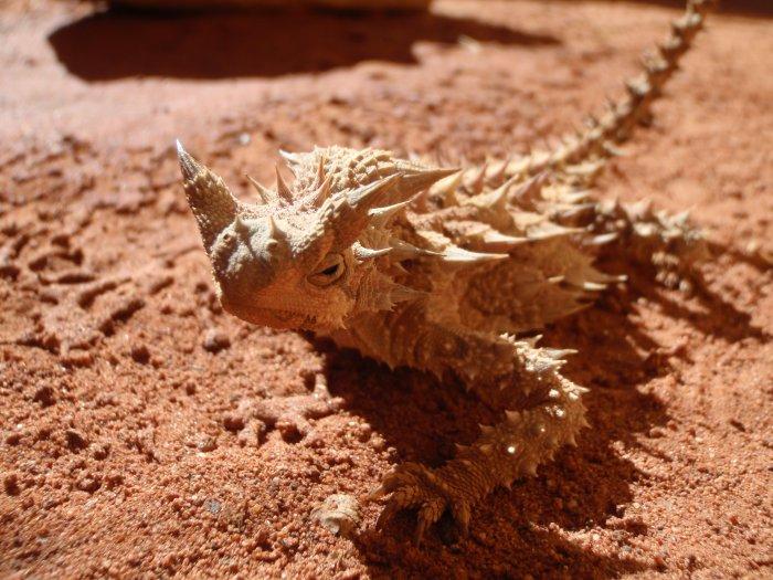 ящерица молох фото 9 (700x525, 369Kb)