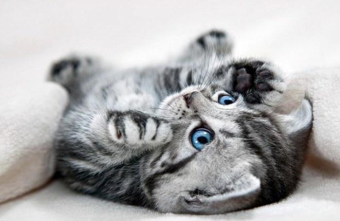 Моя домашняя любимица. Шотландская кошка