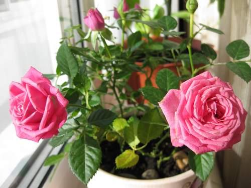 розы из черенка (500x375, 163Kb)