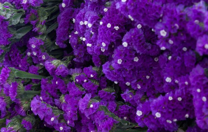 Цветы лимониум выращивание 72