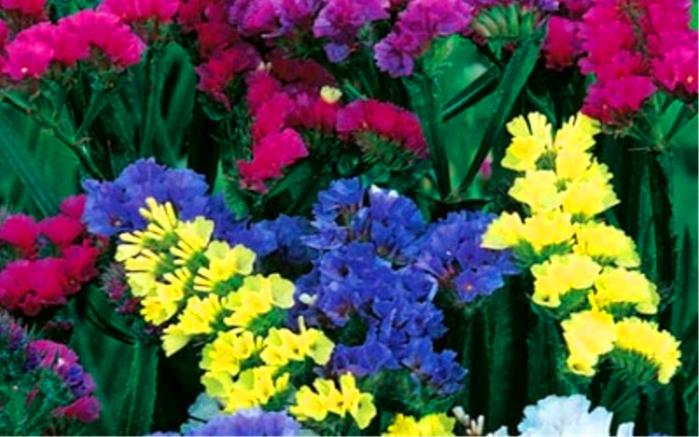 Цветы лимониум выращивание 33