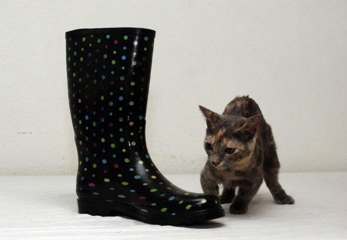 кошка пиксель породы манчкин фото 4 (700x485, 84Kb)