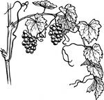 Превью grapevine-clip-art_f (425x408, 110Kb)