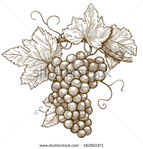 Превью stock-vector-vector-illustration-of-engraving-grapes-on-the-branch-on-white-background-182901971 (450x470, 155Kb)