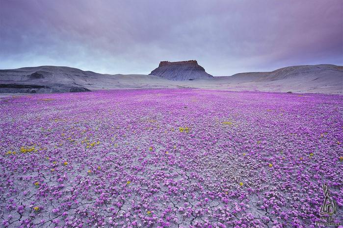 pink-flowersea-utah-wcth01 (700x466, 482Kb)