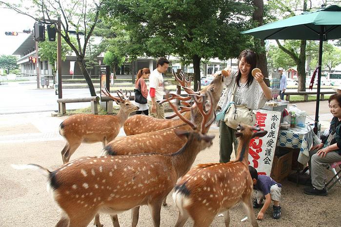 олени в японском городе нара фото 2 (700x465, 469Kb)