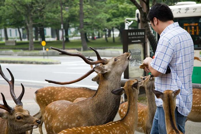 олени в японском городе нара фото 3 (700x466, 363Kb)