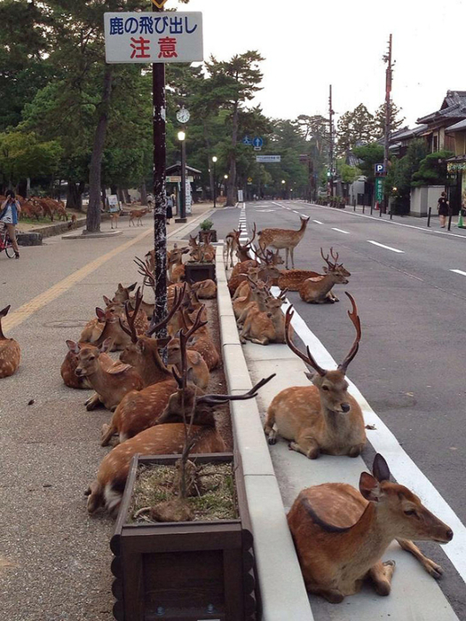 олени в японском городе нара фото 5 (525x700, 402Kb)