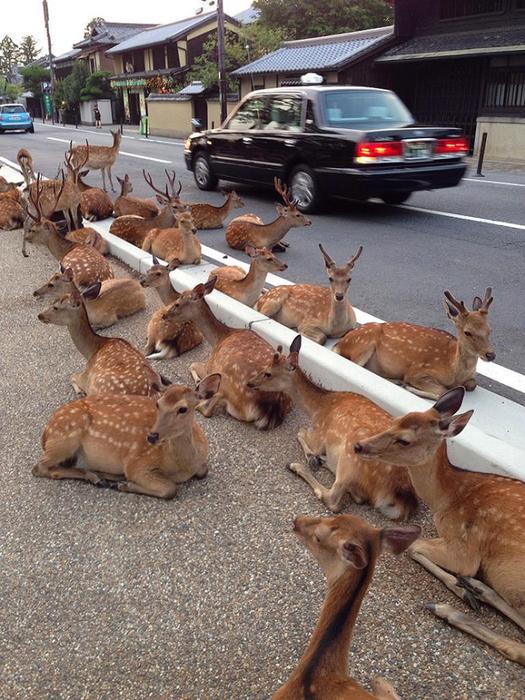 олени в японском городе нара фото 7 (525x700, 467Kb)