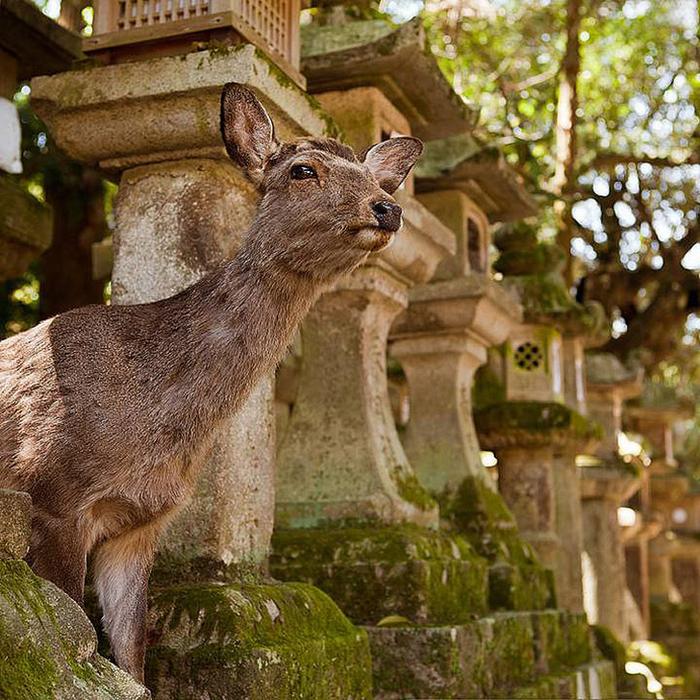 олени в японском городе нара фото 9 (700x700, 616Kb)