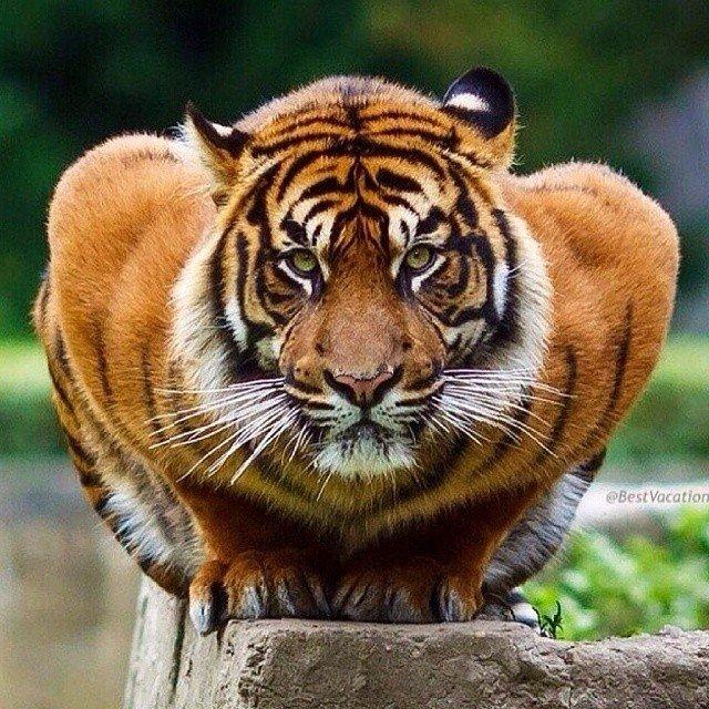 тигр (640x640, 138Kb)