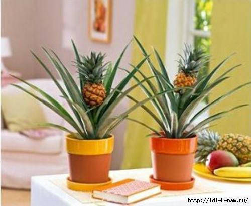 как вырастить ананас дома, как вырастить ананас в домашних условиях, можно ли вырастить ананас в цветочном горшке,