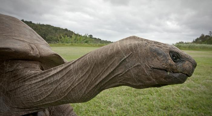 черепаха джонотан фото 3 (700x383, 176Kb)