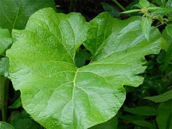 лопух-листья (350x262, 18Kb)