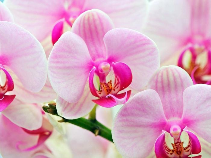 3368205_orhidei (700x525, 245Kb)