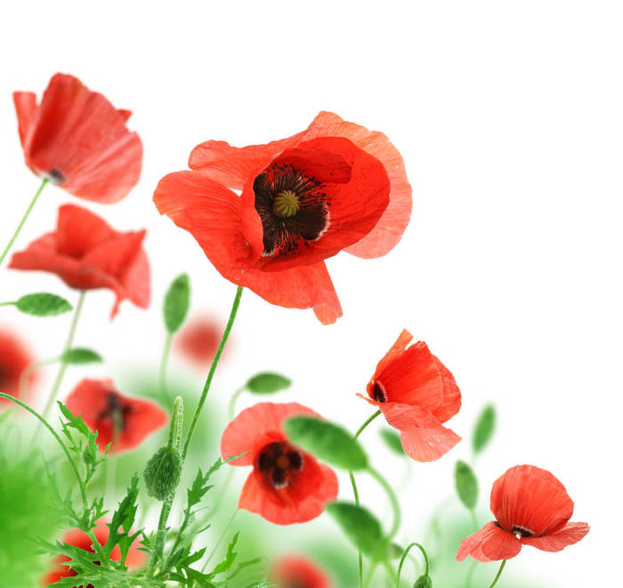 red-flowers_09 (700x661, 53Kb)