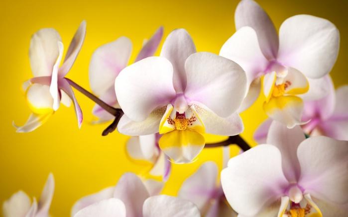 Orchids_03 (700x437, 70Kb)