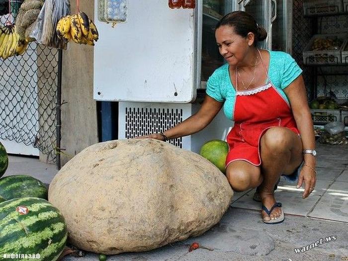 гигантский картофель фото 1 (700x525, 410Kb)