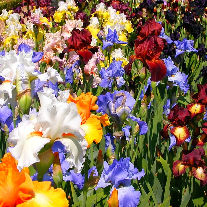 цветы ирисы фото 2 (700x700, 749Kb)