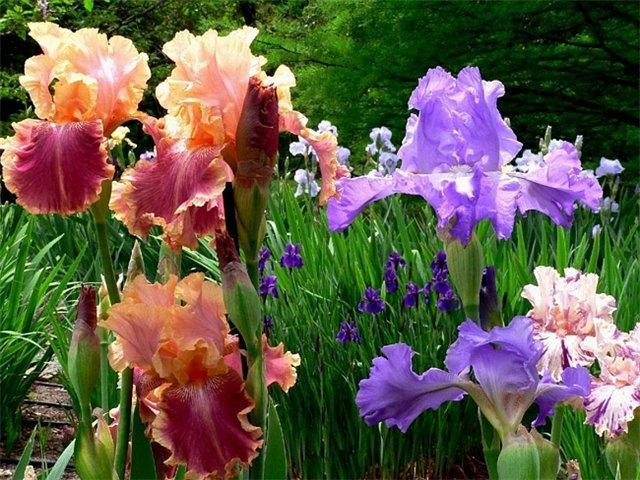 цветы ирисы фото 4 (640x480, 403Kb)