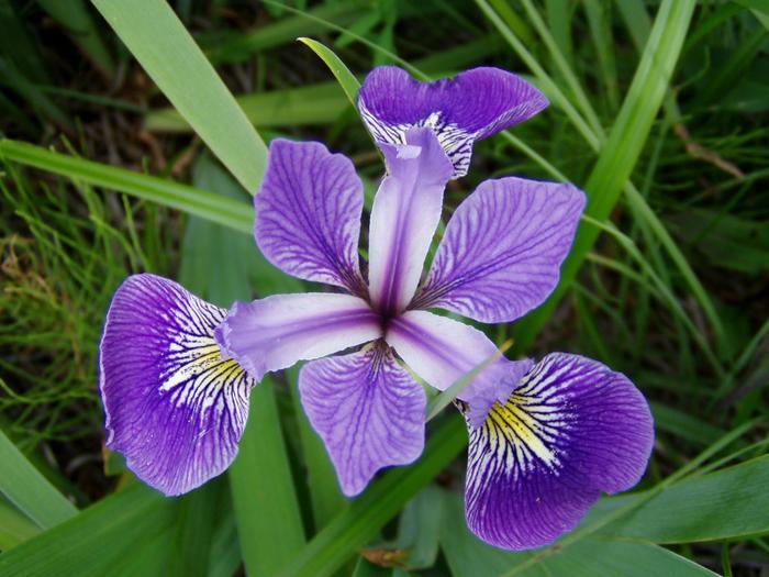 цветы ирисы фото 6 (700x525, 492Kb)