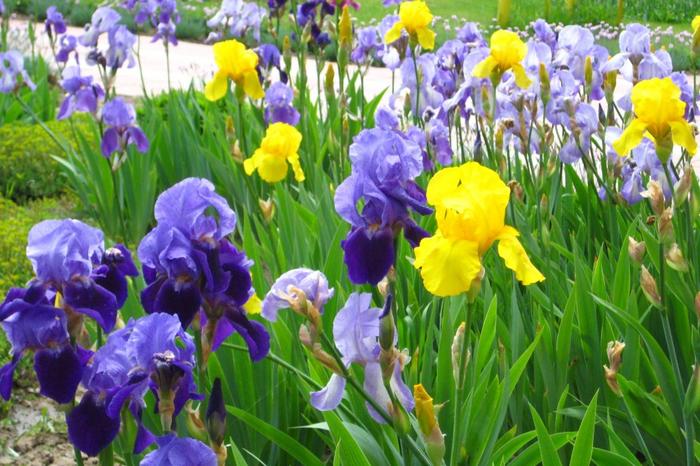 цветы ирисы фото 14 (700x466, 460Kb)