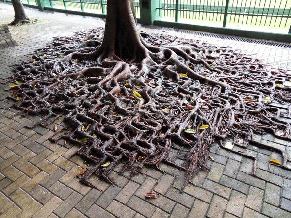 корни деревьев фото 1 (600x450, 343Kb)