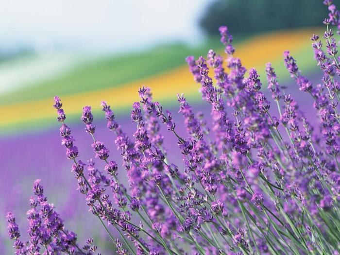 Lavender-fields13 (700x525, 406Kb)