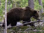 ������ bear (700x525, 550Kb)